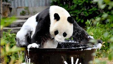 """旅澳大熊猫""""网网""""沐浴洗澡 浑身泡沫萌死人"""