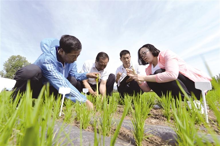 优质旱作水稻试栽成功