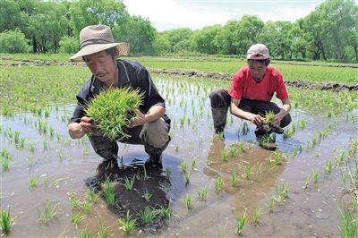 农民稻田补秧忙